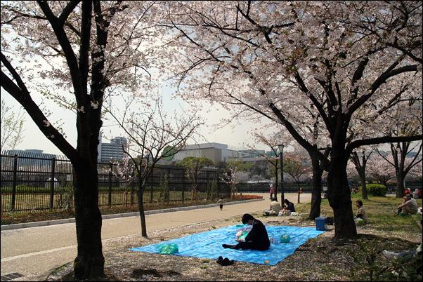 신입사원,  벚꽃놀이 자리 잡아두기