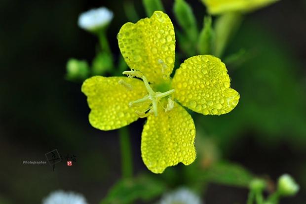 왕피천 야생화(19) - 큰달맞이꽃